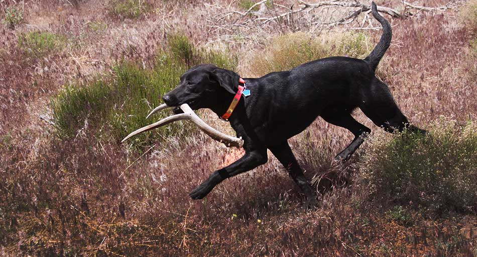 pointing labrador puppy, shed antler puppy